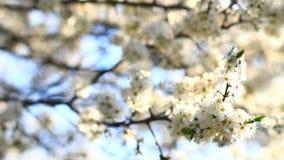 Video of plum tree flower stock video