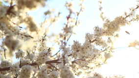 Video of a plum tree flower stock footage