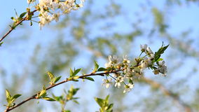 Video of a plum tree flower stock video