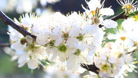 Video of a plum tree flower stock video footage
