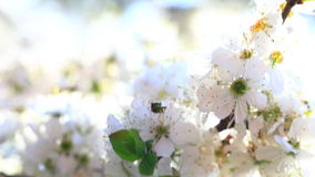 Video of a plum tree flower. Movie of a plum tree flower blowing by the wind