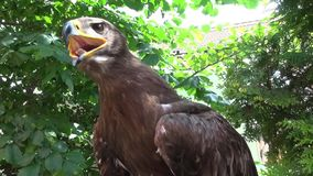 Portrait of Falcon sitting in tree nature stock footage
