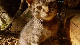 Video portrait. Gray forest wild kitten in the bright sun under a tree. And a stone, close-up, a small cat stock footage