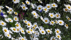 Summer daisies blowing in the gentle breeze wind. Video of pretty delicate summer daisies blowing in the gentle breeze wind in a kent meadow june 2018 stock footage