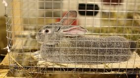 Video rabbit breed gray chinchilla in a cage stock footage