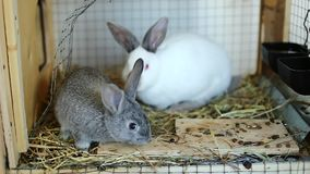 Video rabbits in a cage eat food stock footage