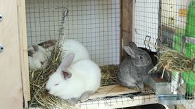 Video rabbits in a cage eat food stock video