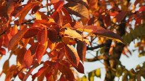 Video of red autumn cherry tree leaves stock video