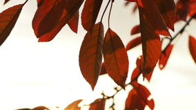 Video of red autumn cherry tree leaves stock video footage