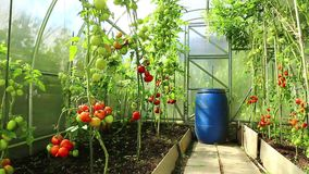 Video ripening green and red tomatoes stock footage