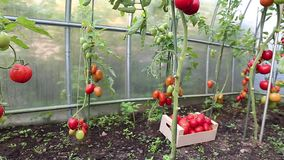 Video ripening green and red tomatoes stock video