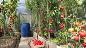 Video ripening green and red tomatoes stock video footage