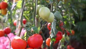 Video Rode en groene tomaten op de wijnstok Landbouwlandbouwbedrijf voor het oogsten stock videobeelden