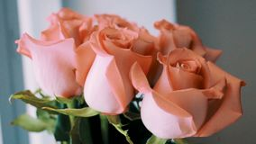 Video of a rose blossoming Orange rose bouquet on white background.  stock video footage