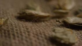 Rotating shot of barley and other beer brewing ingredients stock video footage