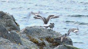 Seabirds lifting off rock near water stock video