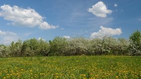 Blossoming apple fruit trees in orchard in springtime. Video shot of blossoming apple fruit trees in orchard in springtime stock footage