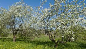 Blossoming apple fruit trees in orchard in springtime. Video shot of blossoming apple fruit trees in orchard in springtime stock video