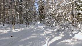 Walk along path in winter snow forest. Video shot of walk along path in winter snow forest on sunny day stock footage