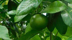 Close-up to an orange tree with green fruits. Video showing a green orange among leaves stock video