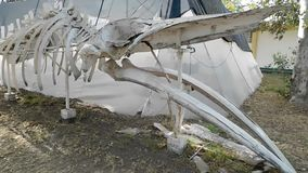 The skeleton of a small whale stock footage