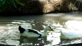 Ducks swimming on a river. Video showing two ducks, one white and one white with black swimming in a small river in the forest stock video footage