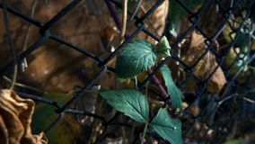 Autumn leaves in the fence mesh. This video shows Autumn leaves in the fence mesh stock footage