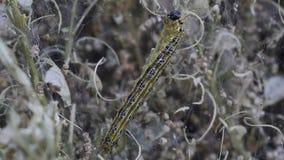 Hd video of box tree moth - caterpillar. Video shows a caterpillar the box tree moth eating leafs of box plant stock video footage