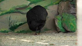Guinea Fowl at the Zoo