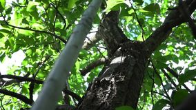 Large tree trunk. stock video footage
