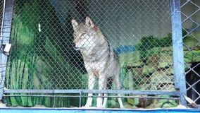 Wolf at the Zoo stock footage