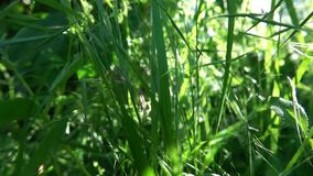 Young Green Grass. This video shows Young Green Grass stock video footage