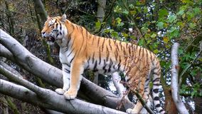 Siberian Tiger standing on large tree branch. Video of Siberian Tiger standing on large tree branch stock video