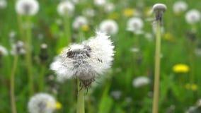 Slow motion dandelion close flower. Video of slow motion dandelion close flower stock video footage