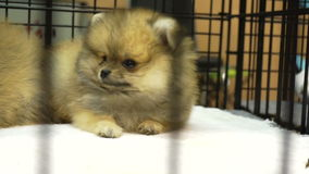 Video Small adorable of Pomeranian puppy dog in the cage. Innocent cute pet. Small adorable of Pomeranian puppy dog in the cage. Innocent cute pet stock footage