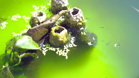 Video Small guppy fish swimming in green water. Decorated small fish pond stock video