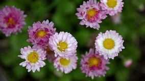 Small pink flowers closeup video stock video footage