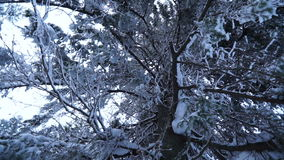 Video of a snow-covered coniferous tree. Video of snow-covered coniferous tree on a clear day. Bottom view stock video footage