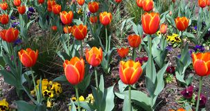 Red tulip flowers in a garden. This is a video of some red tulip flowers blowing in the wind stock video footage
