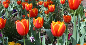 Red tulip flowers in a garden. This is a video of some red tulip flowers blowing in the wind stock footage