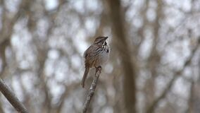 A song sparrow singing from an isolated branch.