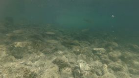 Video subacqueo dall'habitat piacevole del fiume Nuotando vicino sul cavedano dei pesci di acqua dolce Bohinj, Slovenia video d archivio