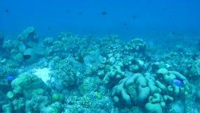 Video subacqueo di corallo 1080P del mare caraibico di vita stock footage