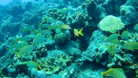 Video subacqueo di corallo 1080P del mare caraibico di vita archivi video