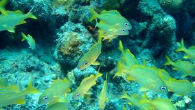 Video subacqueo di corallo 1080P del mare caraibico di vita video d archivio