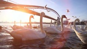 Swan lake white swan romantic sunset bridge. Video of swan lake white swan romantic sunset bridge stock video footage