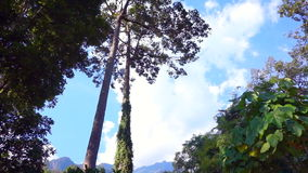 Video Tall trees in tropical high mountain forest stock video footage