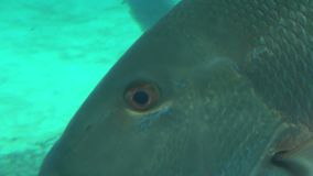 Tracking large fishes face closeup stock video