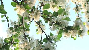 Tree Flower in Sky Close. Video of Tree Flower in Sky Close stock video