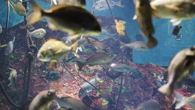 Video of tropical reef fish swim peacefully among the corals in the background of sea corals stock video